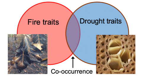 Drought-fire_traits